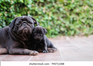 New born pug dog playing with mama pug dog.