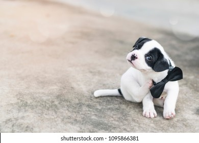 new born puppy dog wear black bow tie collar  scratching itchy  neck as he is allergy flea or tick outdoor in orange morning light with copy space pet and animal health concept