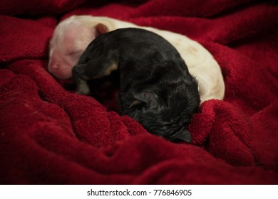 new born sweet defenseless white and two black puppies close after birth wrapped in a blanket closeup