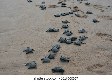 New born turtle babies releasing to the sea. turtle conservation project of the Sri Lanka