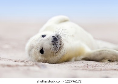 a new born white grey seal baby relaxing at the beach with blurred natural background, looks inquisitively