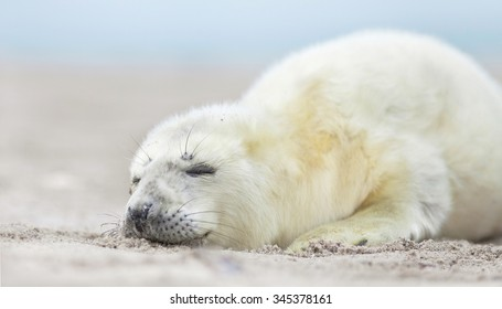 new born white grey seal baby relaxing at the beach with blurred natural background,