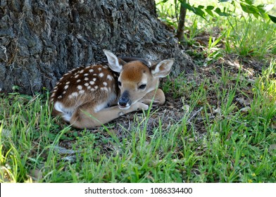 A new born white tailed deer fawn lays quietly against the base of an oak tree.