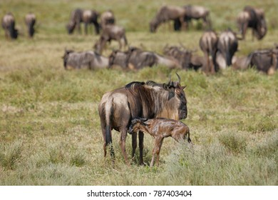 A new born wildebeest calf with mother and herd