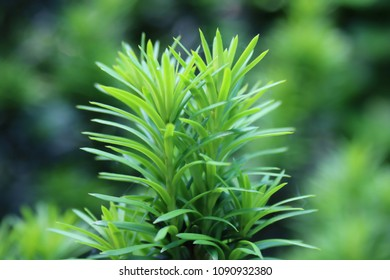 New Branch of Taxus, Bright Green in Spring