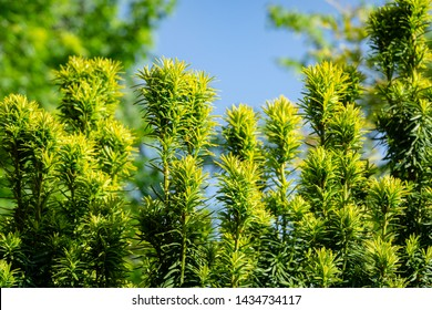 New bright green with yellow stripes foliage on yew Taxus baccata Fastigiata Aurea (English yew, European yew) in spring garden as natural background. Selective focus. Nature concept for design