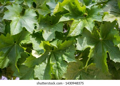 new bud, flower, leaves and more of the loofah plant in nature with small insects