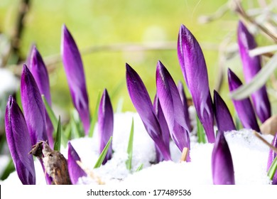 New buds of crocus are attacked by snow (manual focus)