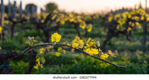 New bug and leaves sprouting at the beginning of spring on a trellised vine growing in bordeaux vineyard