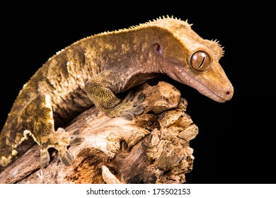 New Caledonian Crested Gecko against a plain black background/New Caledonian Crested Gecko/New Caledonian Crested Gecko