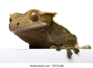 New Caledonian Crested Gecko against white background