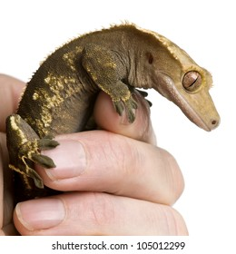 New Caledonian Crested Gecko, Rhacodactylus ciliatus, climbing on hand against white background