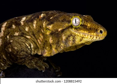 The New Caledonian giant gecko (Rhacodactylus leachianus) is considered the biggest gecko species alive today. These giants are endemic to New Caledonia.