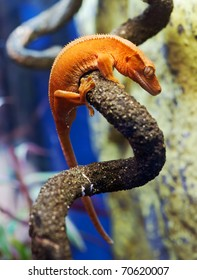 New caledonian/crested gecko (R.ciliatus)