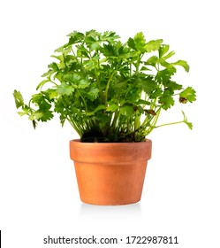 New celery plant in a ceramic pot isolated on white
