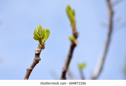 new cluster of spring green fig leaves on fig tree branch with blue sky background