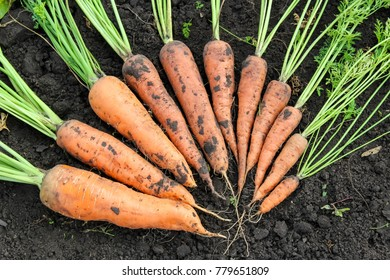 New crop of carrots. Organic vegetables. From small to large