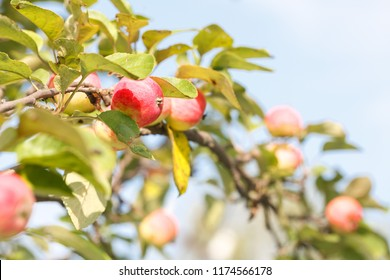 new crop of garden apples on a branch on a Sunny day. Closeup