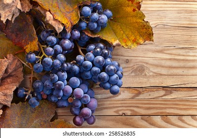 New crop of grapes for wine manufacture