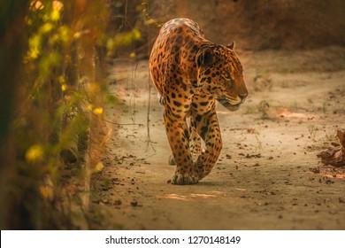 New Delhi, India - 08 December 2018: Jaguar in Delhi Zoological National Park