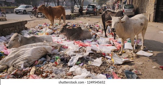 New Delhi, India- November 5 2018: Cows eating garbage on the streets.