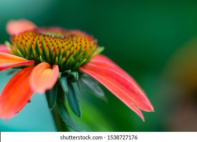 A new echinacea, green twister, coneflower seemingly carefree on a sunny fall day.