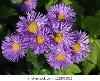 New England aster flowers in a garden