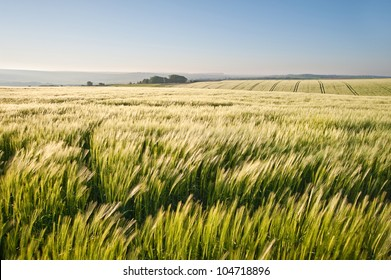 New field of wheat in countryside rural landscape