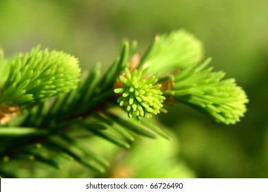 New fir shoots. Focus in the foreground.