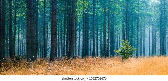 New Forest Pine Trees