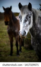 New Forest ponies in contrasting colours on grazing land