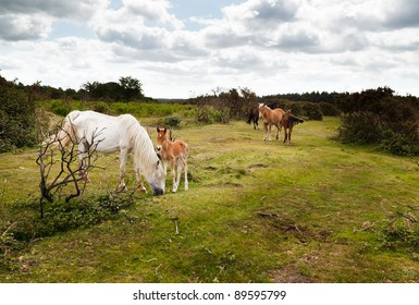 New Forest ponies grazing among the gorse bushes