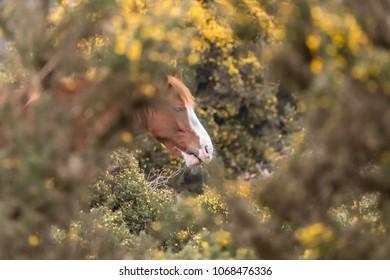 New forest pony feeding on gorse photo through gorse bush