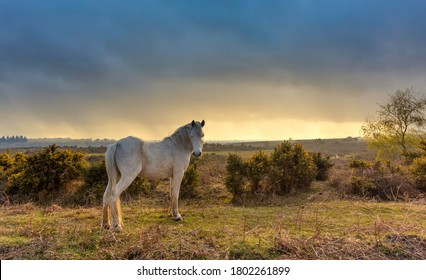 A New Forest Pony wanders freely in the New Forest, Brockenhurst, Hampshire, England