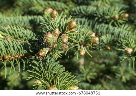 New Fresh Foliage Abies Concolor White Stock Photo Edit Now
