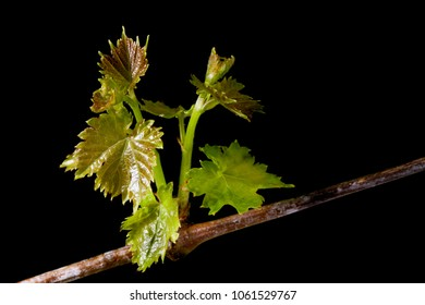 New fresh grape leaves isolated on black background