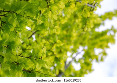 New fresh green leaves on a tree