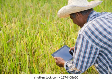 The new generation of farmers is using the research tablet and studying the development of rice varieties in the field. To increase the productivity. Agriculture technology concept.