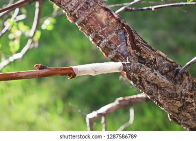 A new grafted branch on a tree