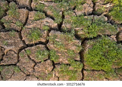 New grass growing on cracked earth in outback Australia.