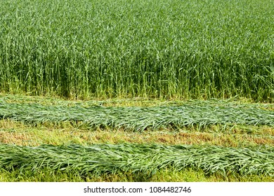 new green corn background or panorama of cultivation field