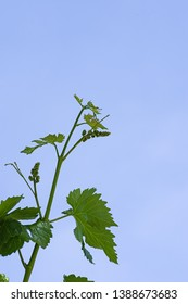 new green grape vine with flower inflorescences in the spring with blue sky background