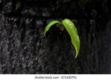 New green leaf and old tree.