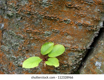 New green leaves, sprout from a lichen covered tree trunk