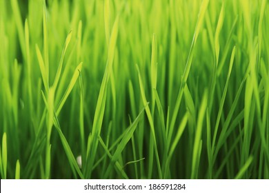 New Green Sprouted Wheat Grass