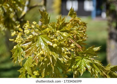 New growing maple leaves on a twig in a garden