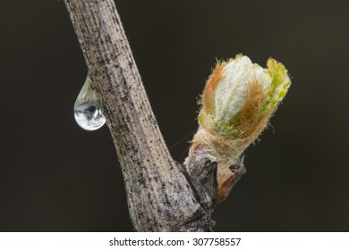 New growth budding out from grapevine, with dew drop.