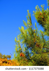 New growth Fir Cones and shoots against blue sky