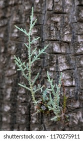 New growth of juniper against bark