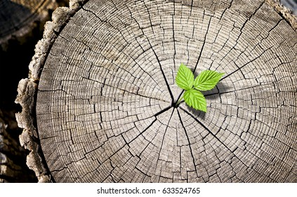 New growth from old concept. Recycled tree stump growing a new sprout or seedling. Aged old log with warm gray texture and rings. Young tree with green leaves and tender shoots.